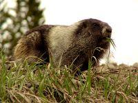 Hoary Marmot 09