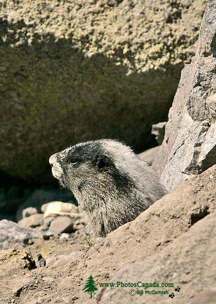 Hoary Marmot CM11-10