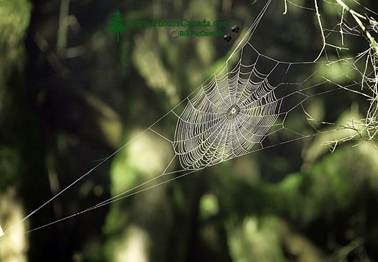 Spider Web, CM11-016