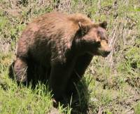 Highlight for Album: Cinnamon Bear with Cubs, British Columbia, Canada
