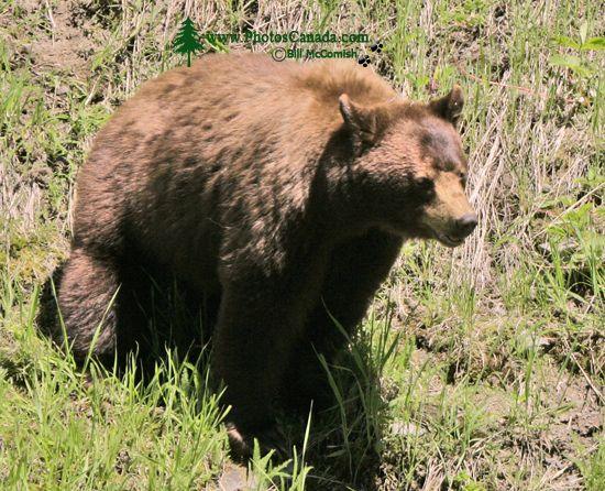 Cinnamon Mother Bear CM11-005