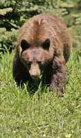 Cinnamon Mother Bear CM11-006