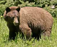 Cinnamon Mother Bear CM11-007