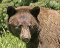 Cinnamon Mother Bear CM11-008