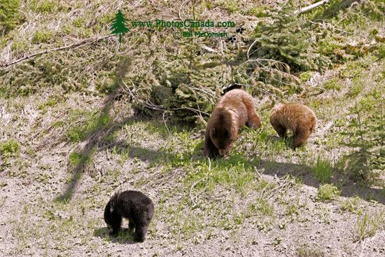 Cinnamon Bear with Black and Cinnamon Cubs CM11-001