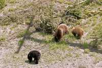 Cinnamon Bear with Black and Cinnamon Cubs CM11-001