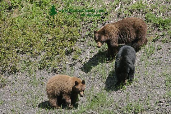 Cinnamon Bear with Black and Cinnamon Cubs CM11-002
