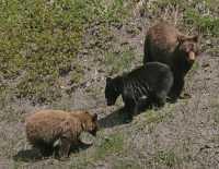 Cinnamon Bear with Black and Cinnamon Cubs CM11-003