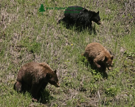 Cinnamon Bear with Black and Cinnamon Cubs CM11-004