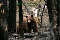 Highlight for Album: Cinnamon Bear, Tweedsmuir Park, British Columbia, Canada, Canadian Wildlife Stock Photos
