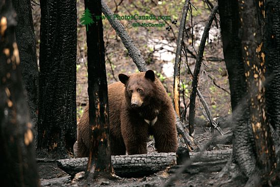 Cinnamon Bear in Charred Forest CM11-001