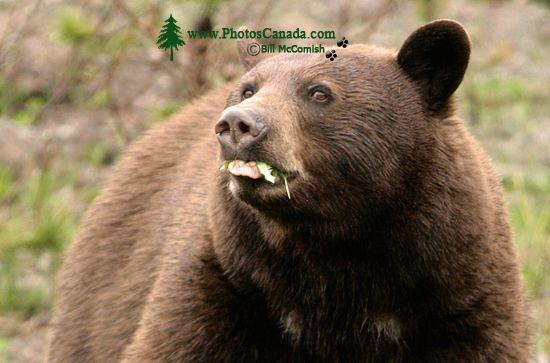 Cinnamon Bear CM11-002