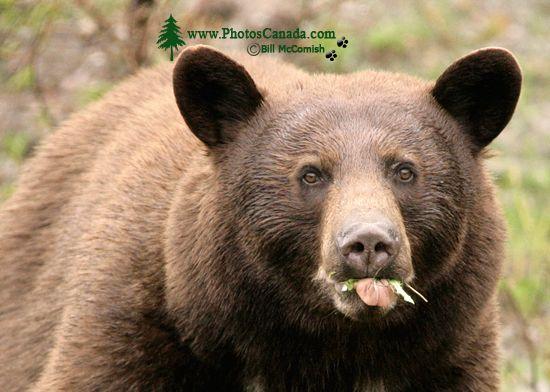 Cinnamon Bear CM11-003