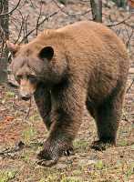 Cinnamon Bear CM11-004