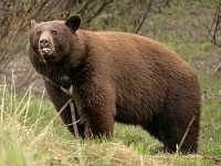 Cinnamon Bear CM11-005