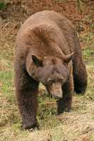 Cinnamon Bear CM11-006