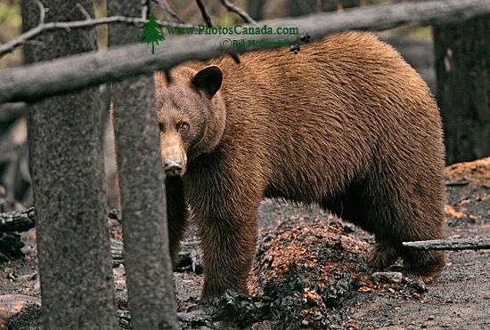 Cinnamon Bear in Charred Forest CM11-008
