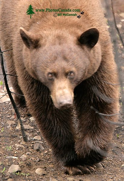 Cinnamon Bear CM11-009