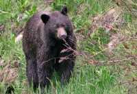 Brown Bear, Joffree Lakes, (June 2008) British Columbia, Canada CM11-14