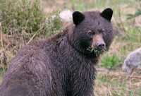 Brown Bear, Joffree Lakes, (June 2008) British Columbia, Canada CM11-12