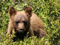 Cinnamon Coloured Bear Cub, Squamish To Whistler, British Columbia, Canada CM11-10