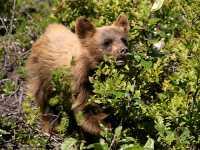 Cinnamon Coloured Bear Cub, Squamish To Whistler, British Columbia, Canada CM11-11