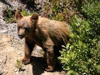 Cinnamon Coloured Bear Cub, Squamish To Whistler, British Columbia, Canada CM11-09