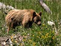 Cinnamon Coloured Bear Cub, Squamish To Whistler, British Columbia, Canada CM11-08