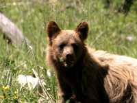 Cinnamon Coloured Bear Cub, Squamish To Whistler, British Columbia, Canada CM11-07