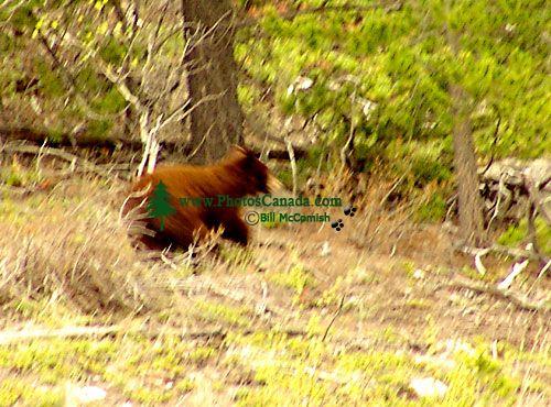 Cinnamon Bear Cub, Pemberton, British Columbia, Canada 05
