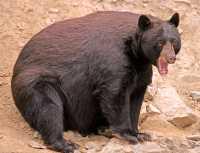 Cinnamon Bear, British Columbia, Canada CM11-28