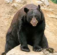 Cinnamon Bear, British Columbia, Canada CM11-27