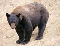 Cinnamon Bear, British Columbia, Canada CM11-25