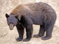 Cinnamon Bear, British Columbia, Canada CM11-24