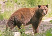 Cinnamon Bear, British Columbia, Canada CM11-29