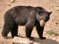 Cinnamon Bear, Pemberton (August 2008) British Columbia, Canada CM11-19