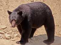 Cinnamon Bear, Pemberton (August 2008) British Columbia, Canada CM11-16