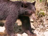 Cinnamon Bear, Pemberton (August 2008) British Columbia, Canada CM11-15
