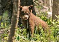 Highlight for Album: Cinnamon and Brown Bears, Black Bear Photos, Canadian Wildlife Stock Photos