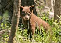 Cinnamon Bear, British Columbia, Canada CM11-30