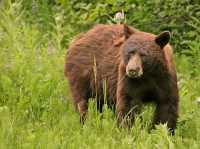 Cinnamon Bear, British Columbia, Canada CM11-31