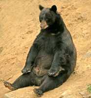 Cinnamon Bear, British Columbia, Canada CM11-212