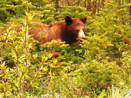 Cinnamon Bear, Waterton Lakes National Park, Alberta, Canada 04