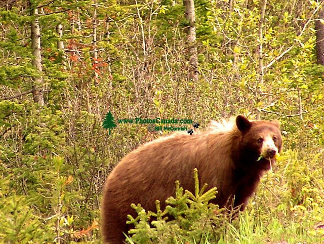 Cinnamon Bear, Waterton Lakes National Park, Alberta, Canada 06