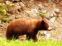Cinnamon Bear, Waterton Lakes National Park, Alberta, Canada 02