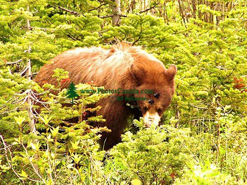Cinnamon Bear, Waterton Lakes National Park, Alberta, Canada 03