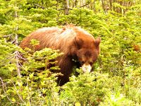 Cinnamon Bear, Waterton Lakes National Park, Alberta, Canada 03
