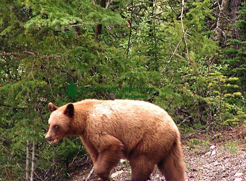 Cinnamon Bear, Banff National Park, Alberta, Canada 01