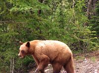 Cinnamon Bear, Banff National Park, Alberta, Canada 01