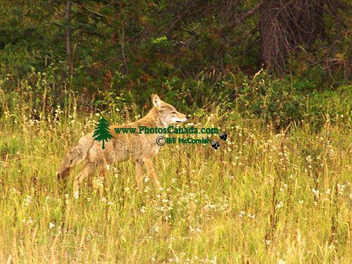Coyote, Jasper National Park 13